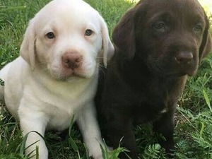Labrador Dişi ve Erkek Çapak Mah.