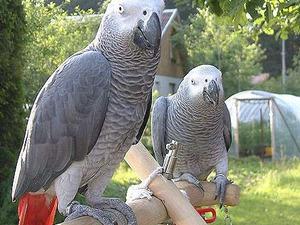 Afrika gri papağanı / jako papağanı Dişi Papağan