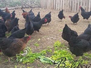 Gündoğdu Köyü hayvanlar ilanı