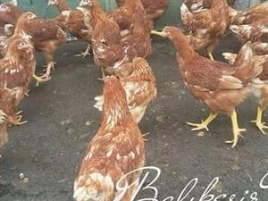 Salma Tavuk Yumurtasını Nereye Satabilirim ?