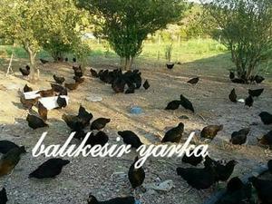 Boyunkaya Köyü hayvanlar ilanı