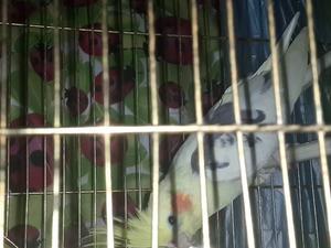 Sultan papağanı 1 Türkali Mah.