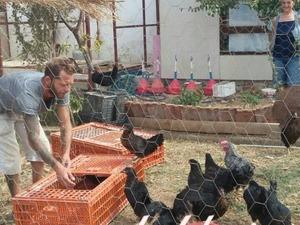 Atak-s Tavuk Nasıl Yetiştirilir ?