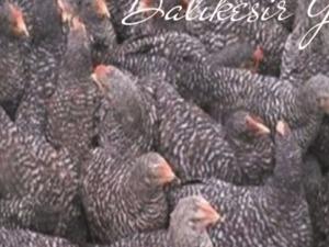 Çil Pleymut Tavuk Nasıl Yetiştirilir ?