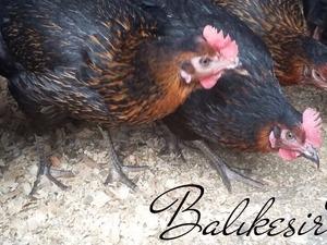 Boğaz Köyü hayvanlar ilanları