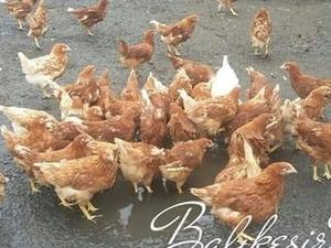 Demirköy Köyü hayvanlar fiyatları