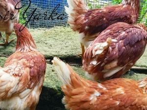 Hamdiye Köyü hayvanlar fiyatları