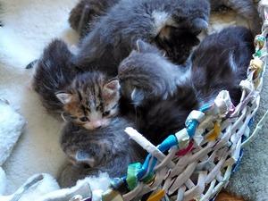 Merkez Mah. kedi fiyatları