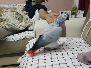 Afrika gri papağanı / jako papağanı ilanı