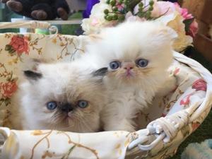 İran kedi Üsküdar
