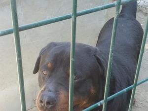 Rottweiler yaş 2 Sanayi Mah.
