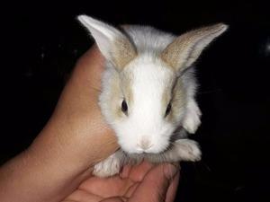Aslanbaş Dişi ve Erkek tavşan