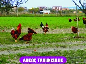 Dağmarmara Köyü hayvanlar ilanı