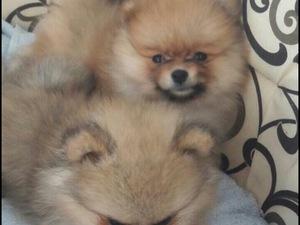 Pomeranian Sahibinden Bahçelievler Mah.