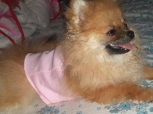 Pomeranian Secereli
