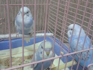 Yerli muhabbet kuşu Yenimahalle
