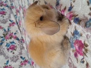 Sahibinden Lop tavşan fiyatları