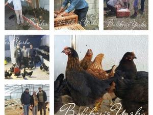Çeltikçi Köyü hayvanlar ilanı