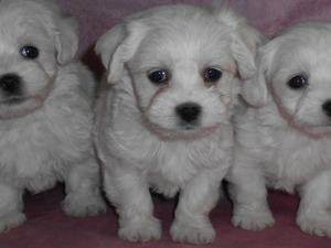 Maltese terrier Sahibinden 1 TL
