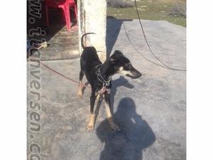 Kılçık Köyü köpek ilanı