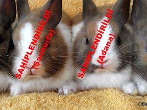 Cüce Tavşan Satışı (NETHERLAND DWARF) Safkan!