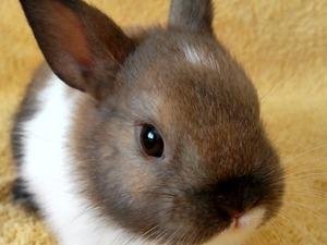 Diğer tavşan ırkı Dişi tavşan