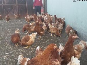 Beki Köyü hayvanlar fiyatları