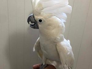 Goffin kakadu papağanı Sahibinden 800 TL