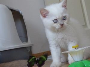 safkan british shorthair yavruları