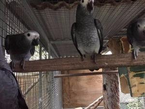 Dişi ve Erkek Papağan Gökçebey