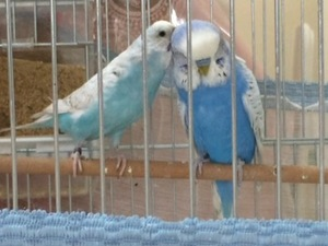 Jumbo / Show jumbo muhabbet kuşu 2