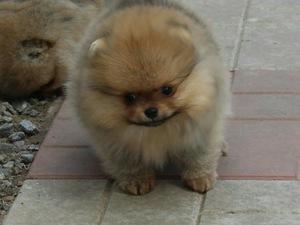 yaş 0-3 Aylık köpek Şenlikköy Mah.