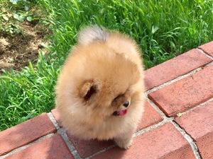 Şenlikköy Mah. Pomeranian ilanları