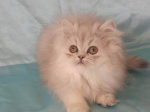 Kazımdirik Mah. kedi ilanları