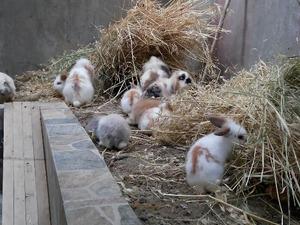 0-3 Aylık tavşan Ambarlı Mah.