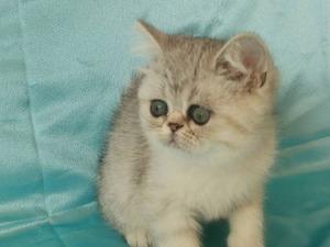 İstanbul Evleri kedi ilanı