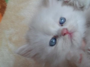 Chinchilla Erkek kedi