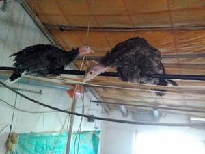 Işıkyolu Köyü hayvanlar ilanı