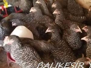Ketenlik Köyü hayvanlar ilanları