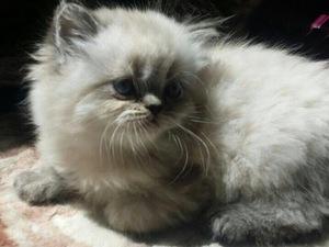 British shorthair kedi Beylikdüzü