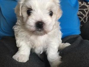 Maltese terrier yaş 0-3 Aylık