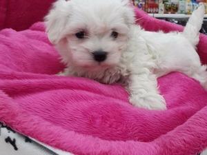 Maltese terrier Erkek köpek