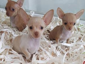 Chihuahua Erkek Cumhuriyet Mah.