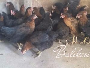 Kurtdereköy Köyü hayvanlar ilanı