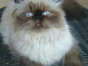 Sıfır burun mavi göz damızlık dişi iran persian kedisi