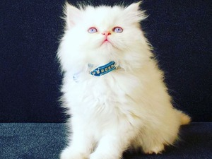İran kedi Bozüyük