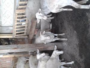 Kayabeyli Köyü hayvanlar ilanları