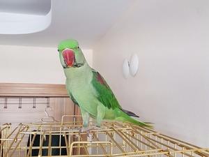 Diğer papağan Dereköy Mah.