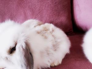 TAVŞAN BURADA-Lop Tavşan Üretimi