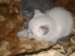 kedi Scottish fold fiyatları